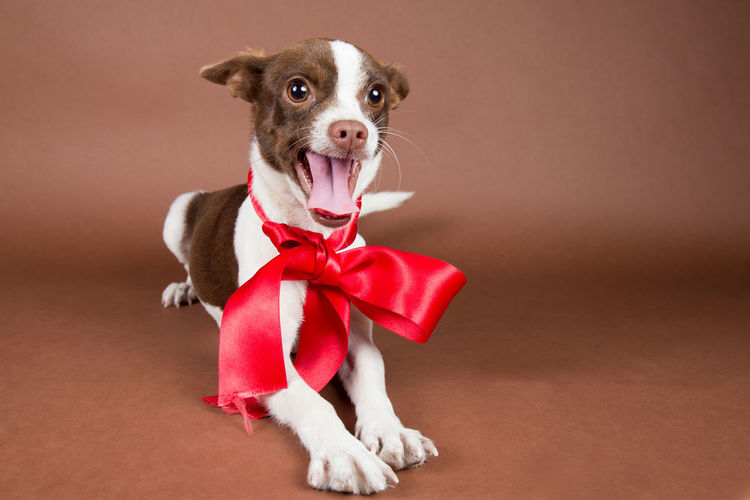 Dog with ribbon against brown background