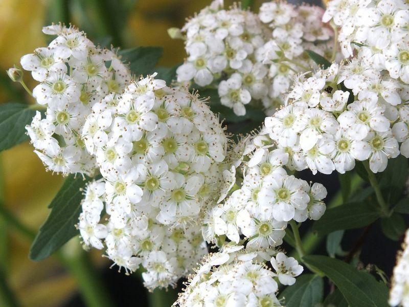 コデマリ Flowers Flower Flowerporn Flower Collection Flower Flowers Cute♡ EyeEm Flower EyeEmbestshots
