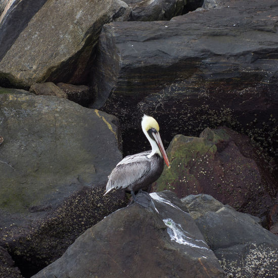 Lone pelican Animal Themes Animal Wildlife Animals In The Wild Barnicles Bird Brown Pelican Jetty Park Jetty Rocks Male Pelican Nature One Animal Outdoors Pelican Perching Rock - Object Single Bird Barnacles