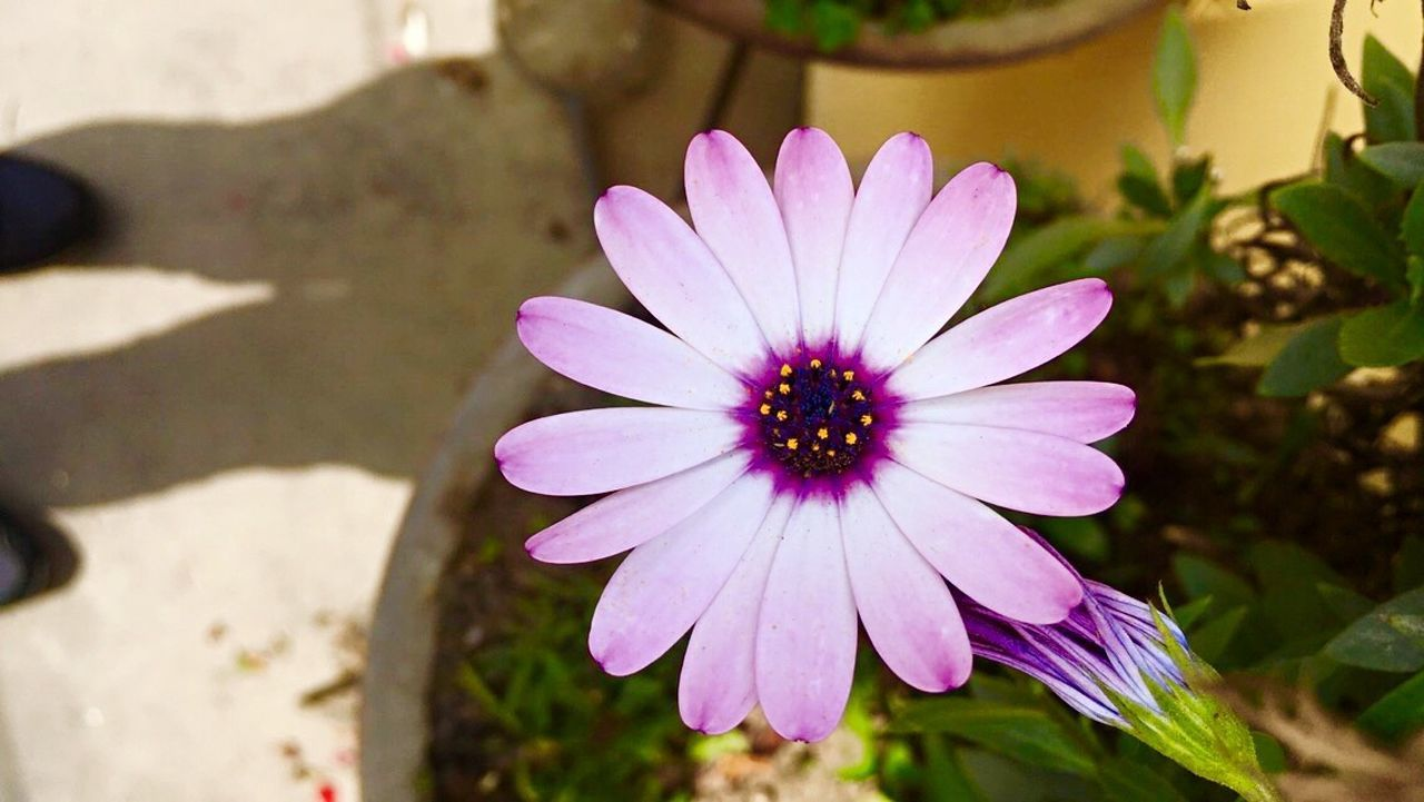 flower, petal, nature, flower head, purple, beauty in nature, plant, freshness, fragility, blooming, growth, day, osteospermum, outdoors, focus on foreground, close-up, no people