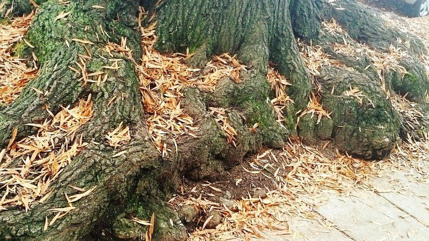 Fall Leaves Live Oak Tree Roots  Gnarled Tree