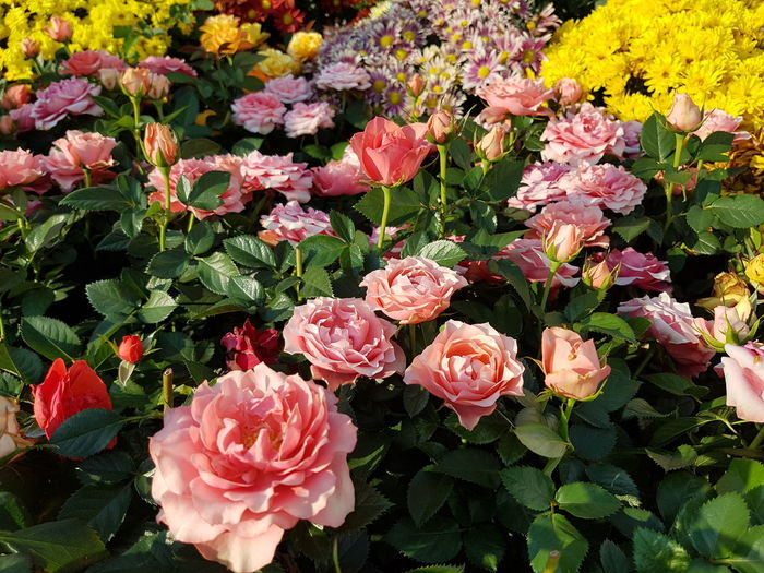 Close up of rose flowers. Rose - Flower Flower Head Flower Pink Color Petal Leaf Close-up Blooming Plant