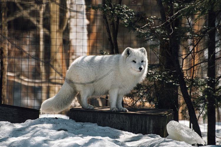 Portrait of white fox in snow