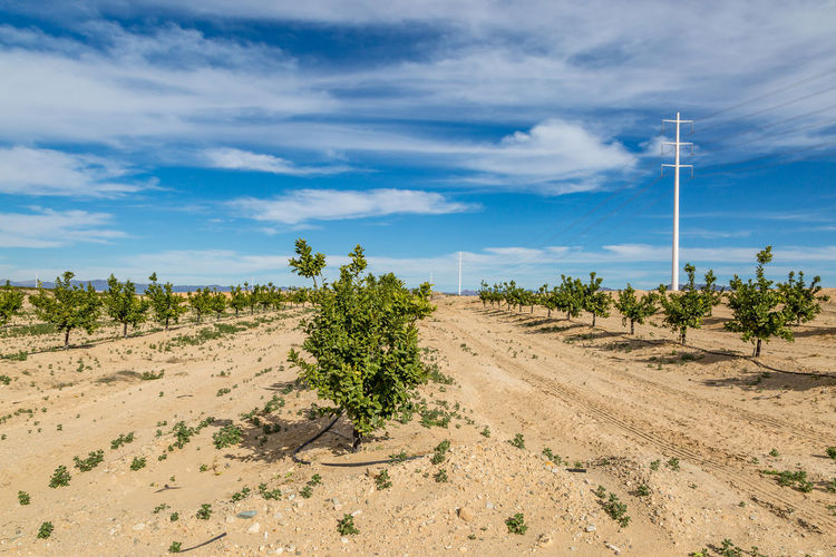 Citrus trees growing in the dry Californian countryside Sky Cloud - Sky Plant Environment Landscape Land Scenics - Nature Tree Nature Beauty In Nature Growth Day No People Non-urban Scene Field Blue Sunlight Desert Outdoors Arid Climate Climate Semi-arid Citrus Trees California Orchard