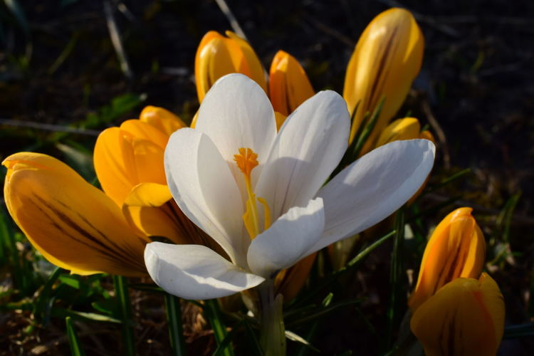 Close-up of white crocus flower on field