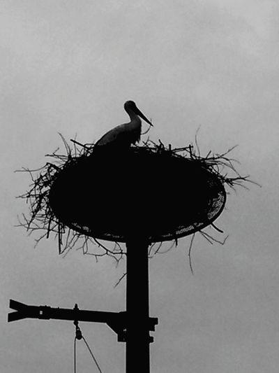 【Hyogo,Japan】stork Natural Monument 豊岡市 コウノトリ Japan Toyooka City Hyogo Bird White Stork Raven - Bird Stork Silhouette Animal Nest Animal Themes