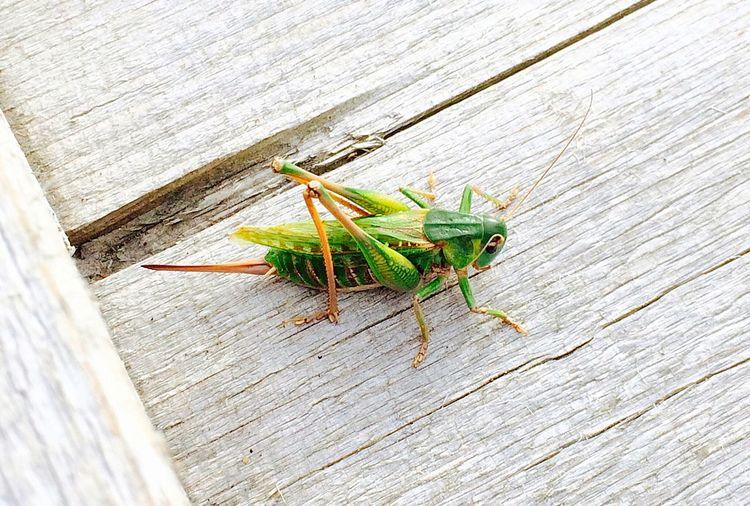 Green Grasshopper EyeEm Nature Lover Wood Art First Eyeem Photo