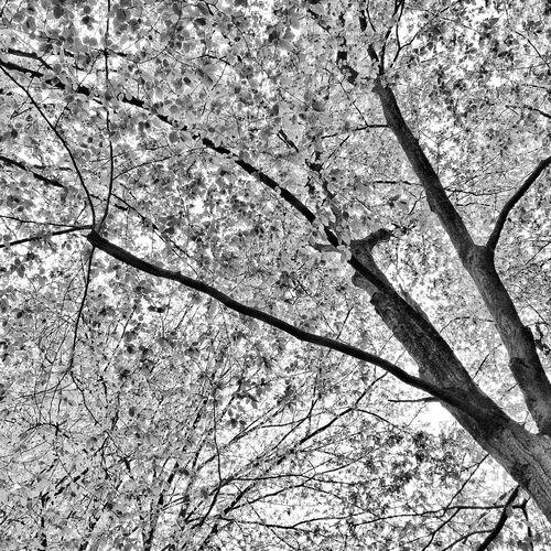 Branch Tree