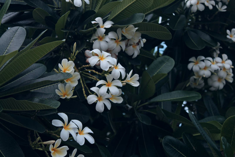 Beauty In Nature Close-up Day Flower Flower Head Flowering Plant Fragility Freshness Growth High Angle View Inflorescence Leaf Nature No People Outdoors Petal Plant Plant Part Vulnerability  White Color