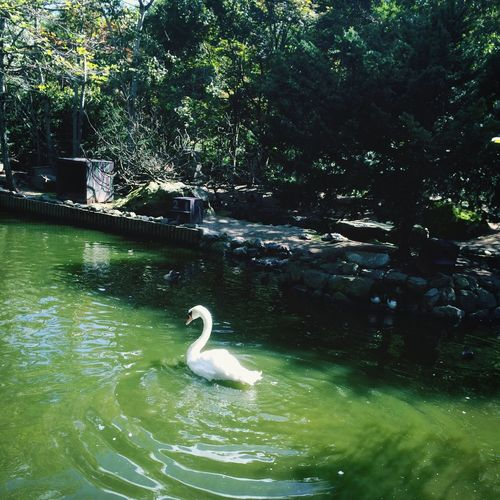 Swimming Zoo Taking Photos Swan