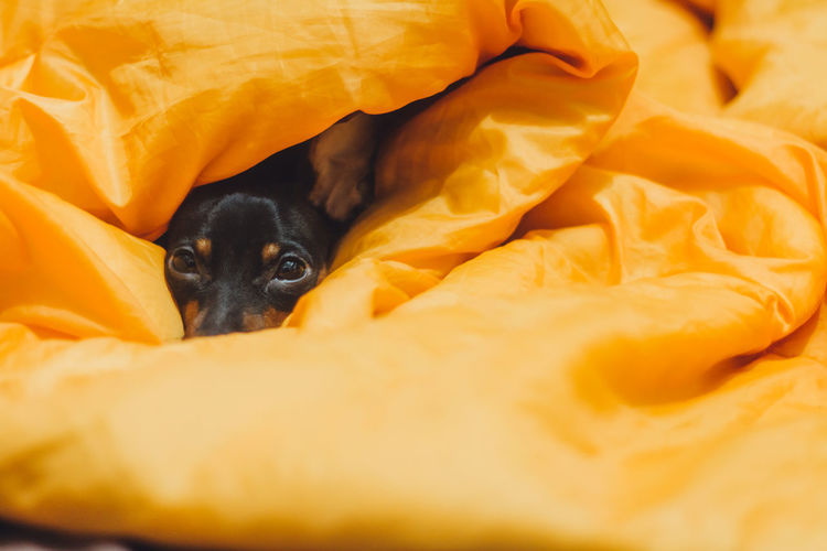 Portrait Of Dog Under Blanket On Bed