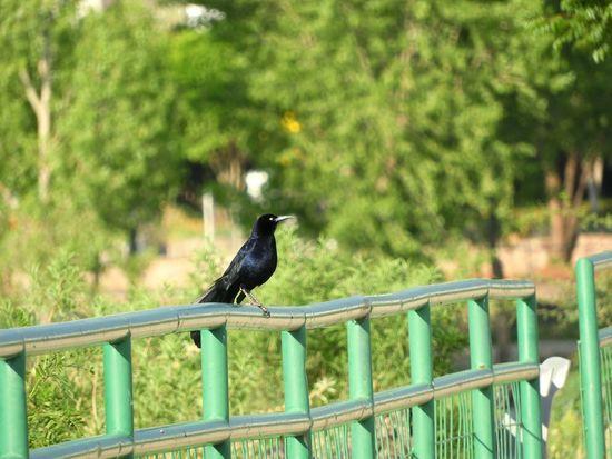 Bird One Animal Animal Wildlife Railing Animals In The Wild Animal Themes Perching No People Black Color Outdoors Day Nature Tree Raven - Bird Full Length Bird Of Prey Raven Raven Bird