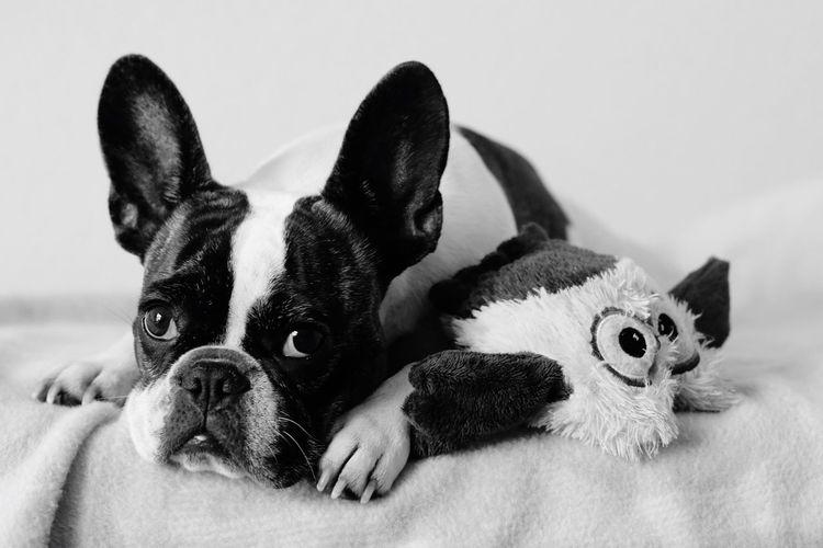 Frenchbulldog Französische Bulldogge  French Bulldog Bully Frenchie Cute Pets Cute Dog  Sweet Dog  Niedlicher Hund Hund Dog Grumpy Grumpydog Blackandwhite Black And White Black & White Dog Portrait Dogs Of EyeEm Hund Auf Bett Dog In Bed Dog With Toy Hund Mit Spielzeug