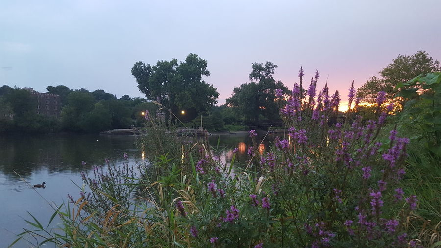 City And Nature Beauty In Nature Purple Wildflowers Reflection River Sunset Trees Water Sky Waterfowl