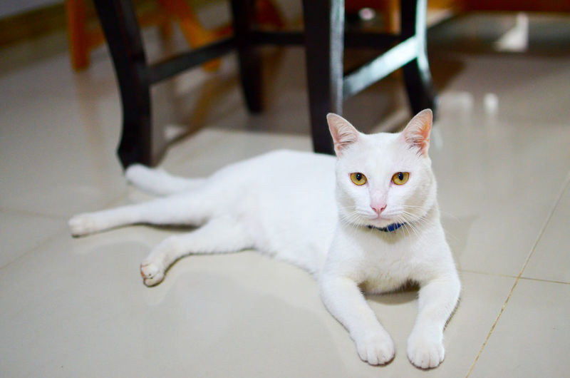 Cat Thailand :) Animal Animal Eye Animal Themes Cat Domestic Cat One Animal Pets White Color EyeEmNewHere