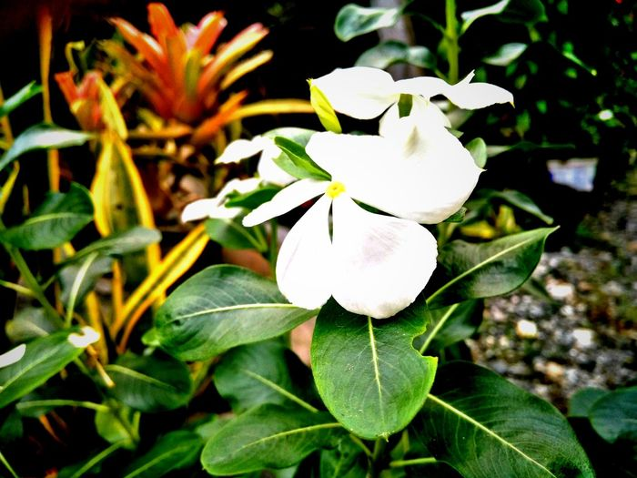 Phillippines Mindoro, Philippines Flower Focus