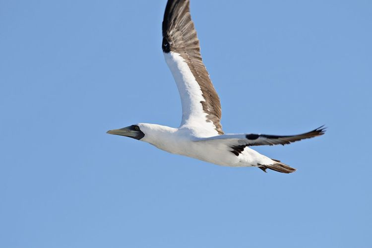 Animals In The Wild Flying Animal Wildlife Animal Themes Animal One Animal Spread Wings Bird Sky Clear Sky Blue Low Angle View No People Nature Motion Mid-air Outdoors Animal Wing Albatros