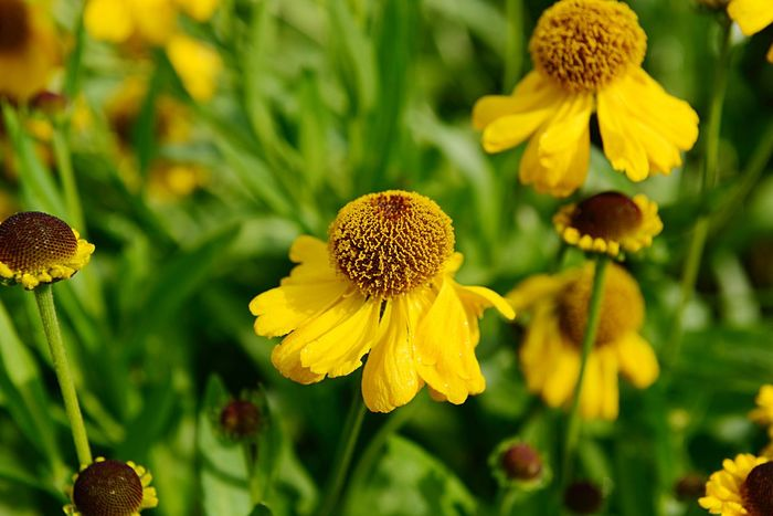 Sneezeweed Botany Helenium Bigelovii The Bishop Flower Flowering Plant Plant Yellow Fragility Growth Beauty In Nature Vulnerability  Freshness Flower Head Petal Inflorescence Close-up Focus On Foreground Day No People Nature Pollen Coneflower