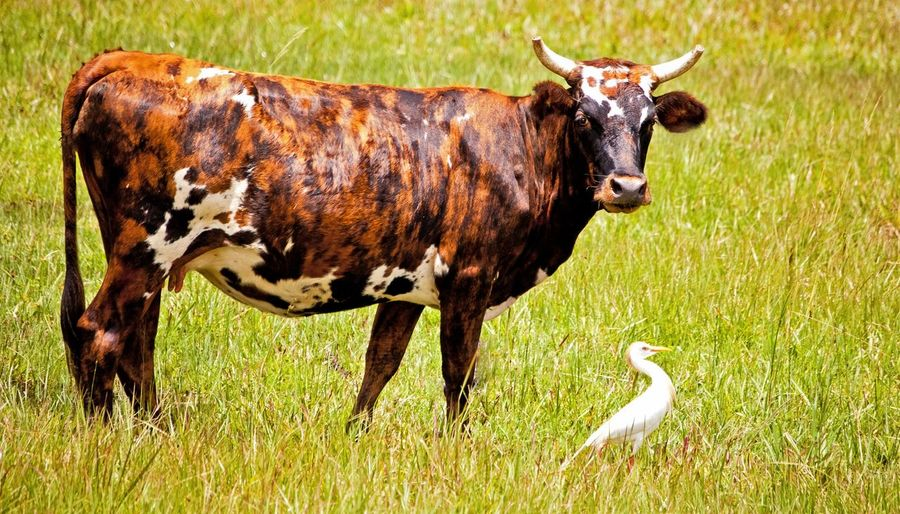 Cow and white