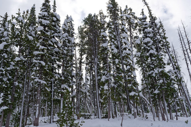 Low angle view of snow covered trees in forest against sky