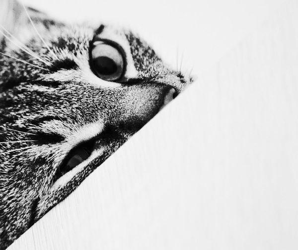 HalfCat Animal