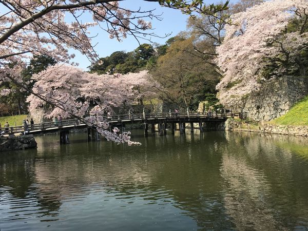 Beauty In Nature Brigde Cherry Blossoms Day Fallen Petals Moat Springtime Water