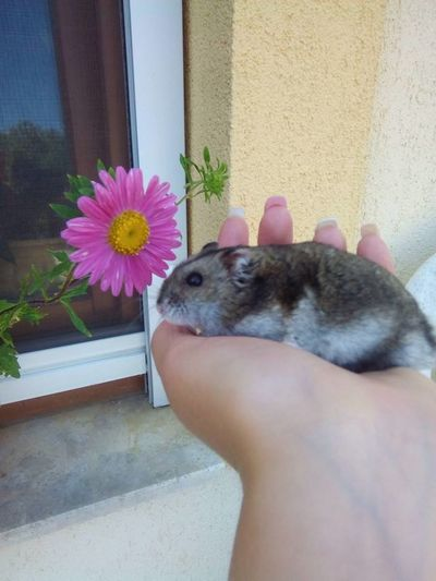 Animal Themes Animals In The Wild Close-up Day Domestic Animals Flower Freshness Hamster Hamster Love Human Hand Indoors  Nature One Animal One Person Pets Real People