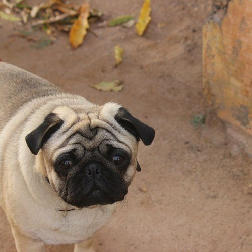 Dogs Pug Doglovers No Filter Up Close Street Photography Inncocent Eyes Wrinkles