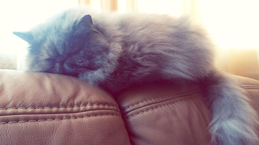 Persian Cat Persian Cat Sleepingcat Sleeping Ketevan Indoors  Blue Close-up Pets Day People Animal Themes