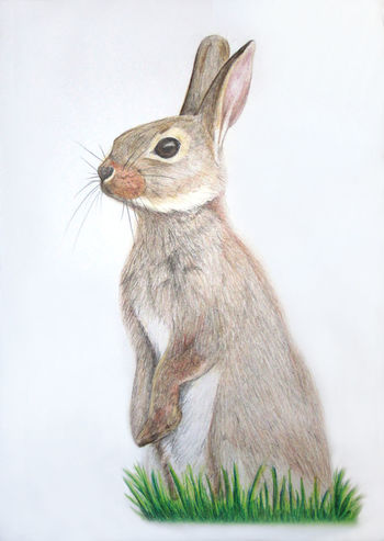 Rabbit colour pencil drawing Animal Art Animal Themes Art Art And Craft Art, Drawing, Creativity Artist Artistic Arts Culture And Entertainment ArtWork Bunny  Bunny 🐰 Draw Drawing Drawing ✏ Drawings Drawingtime Fluffy Nature Pets Rabbit Rabbit Artwork Rabbit ❤️ Rabbit 🐇 Rabbits Rabbits 🐇