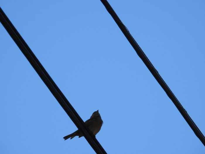 bird on wire. Bird Perched Low Angle View Nature_collection Blue Sky Birds On Wire Birdwatching From Below Wires And Sky Wires Wires In The Sky Birds_collection Nature Photography Bird Photography Bird On A Wire Diagonal Lines No People Bird Silhouette