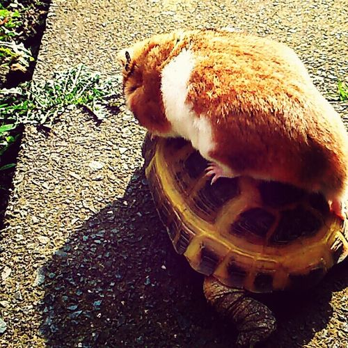 Pebbles the hanster riding my tortoise dory into battle! Haha Tortoise Hamster Pets Cute