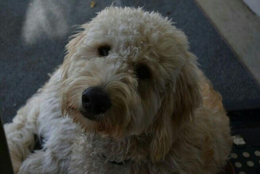Goldendoodle puppy, Mason