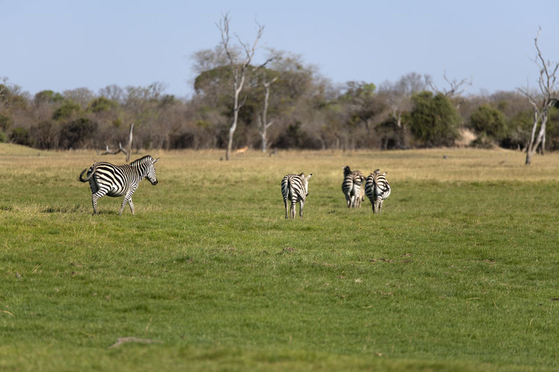 View of zebras on field