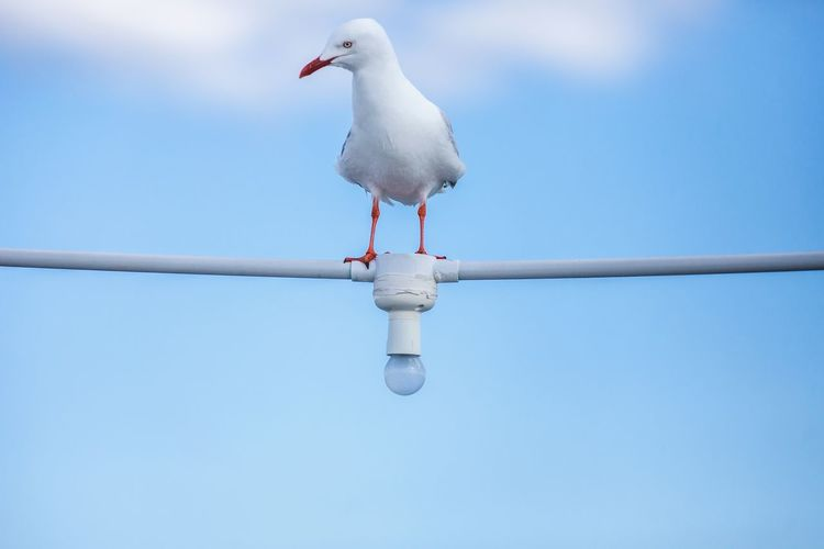 Bird Animal Animal Themes Vertebrate Animal Wildlife Animals In The Wild Perching One Animal No People Seagull Nature Day Blue Sky Outdoors White Color Water Copy Space Clear Sky Full Length