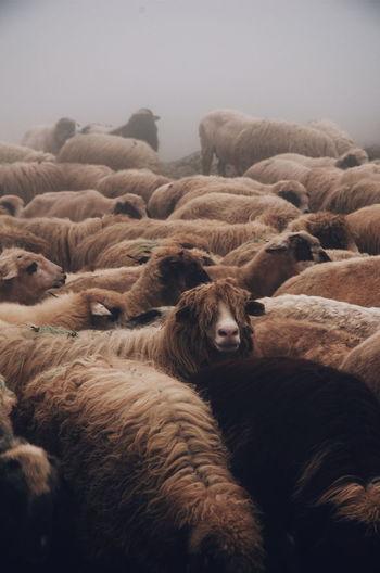 Flock of sheep on land