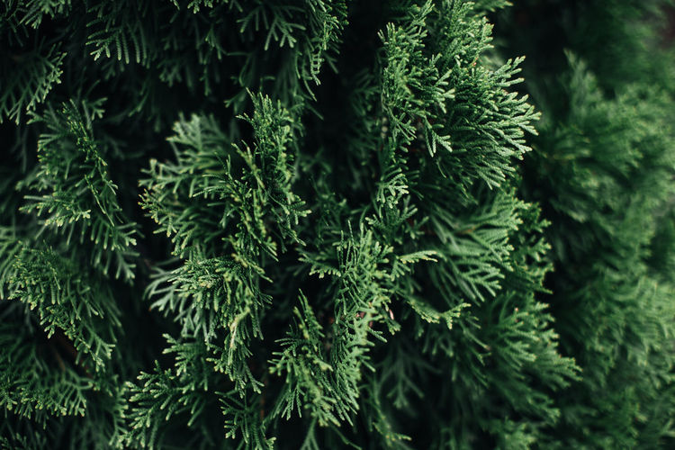 Bright green fresh coniferous plant growing in nature. natural background
