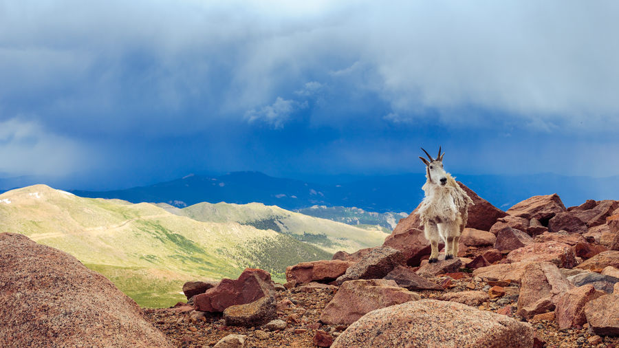 Mountain goat standing on rock against mount evans