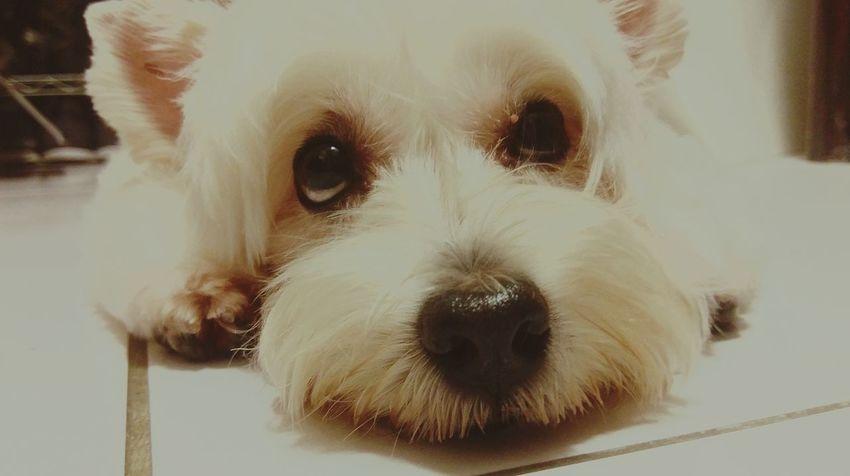 說不出的苦。。。繼薇 Chi-wei Smile Dog Pets Animal One Animal Looking At Camera Animal Hair Cute Animal Themes No People Close-up She Is My Family Lifestyles Live For The Story Something Sad