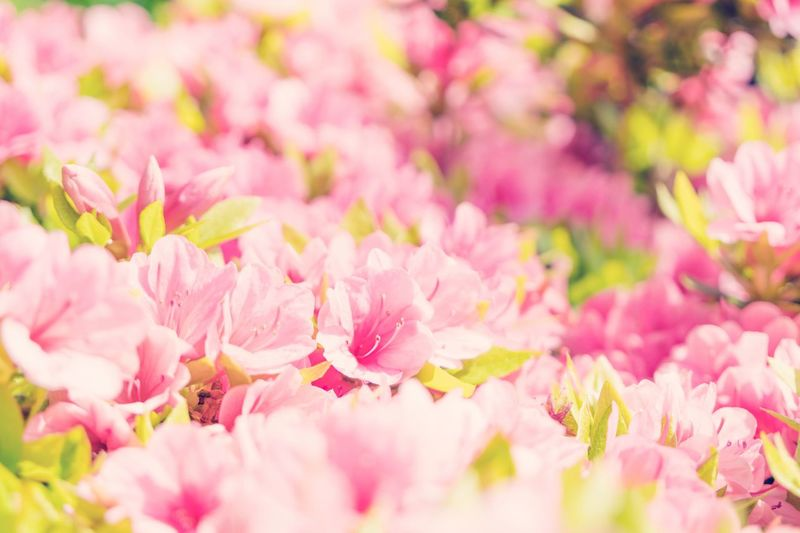 EyeEm Selects Pink Color Flower Petal Beauty In Nature Fragility Nature Freshness Selective Focus Backgrounds Springtime No People Flower Head Blossom Pink Growth Full Frame Plant Close-up Outdoors Day