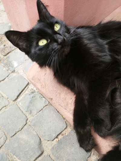 Black Cat Panther Pets Portrait Feline Domestic Cat Looking At Camera Yellow Eyes Black Color Close-up Whisker Cat Stray Animal Carnivora Leopard Domestic Animals Animal Eye
