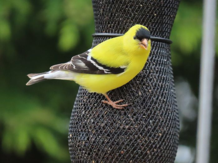 Yellow finch at the feeder little bird yellow and black feathers focus on the foreground birdwatching closeup Birds of EyeEm beauty in nature Bird Animal Themes Outdoors No People