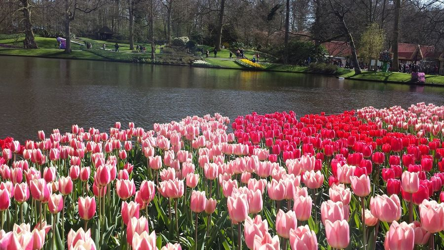 Keukenhof Garden Tulips Beauty In Nature Flower Flower Head Freshness Holland Lake No People Outdoors Petal