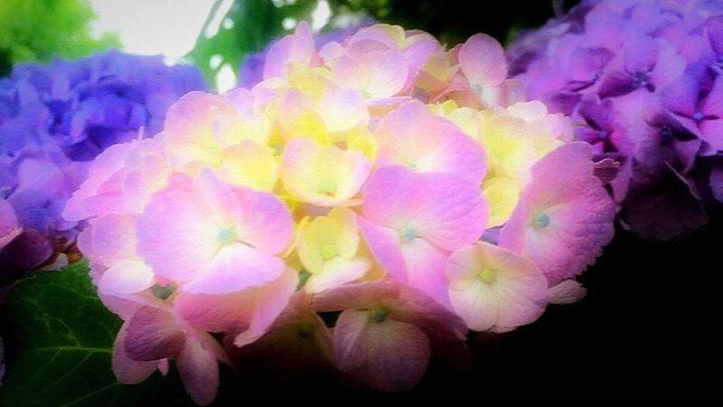 アジサイ。紫陽花。 Hydrangea なかなか青・白が見つからない。 Hello World Flower Japan Hungry Split Nature Enjoying Life Hope Peace