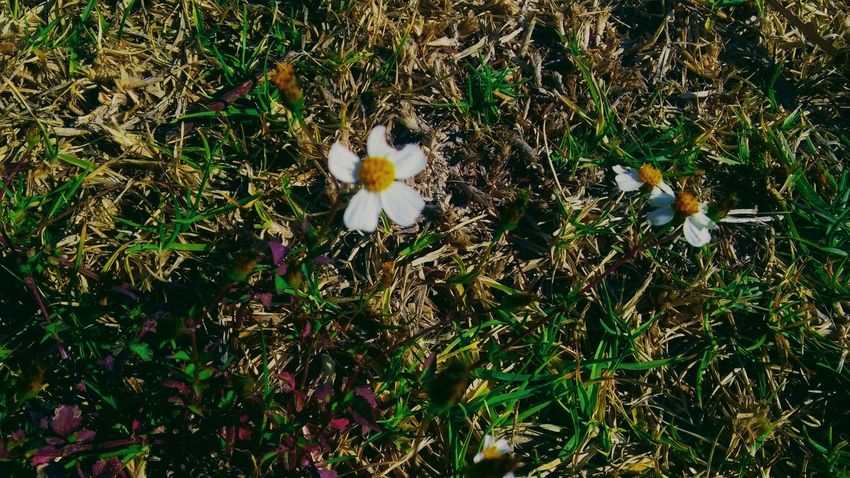 FLOWER Beauty In Nature Blooming Close-up Day Field Flower Flower Head Fragility Freshness Grass Growth High Angle View Nature No People Outdoors Petal Plant