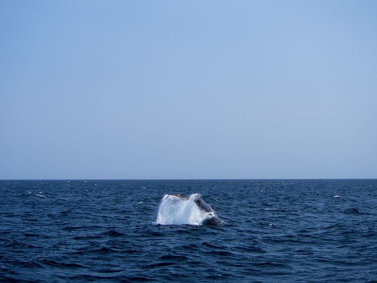 Tail of Humpback whale splashing on the ocean in St. John's, Newfoundland, Canada Megaptera Novaeangliae Ocean Atlantic Canada St. John's Newfoundland Sea Whale Humpback Whale Sea Life Horizon Over Water Animals In The Wild Nature No People Animal Wildlife Mammal Water Outdoors Blue Aquatic Mammal Animal Themes Swimming Sky Day Beauty In Nature