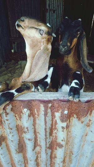 Burt & Kurt Goat Life Home Beauty In Nature Phone Photography Outdoors No People Domestic Pets Farm Living