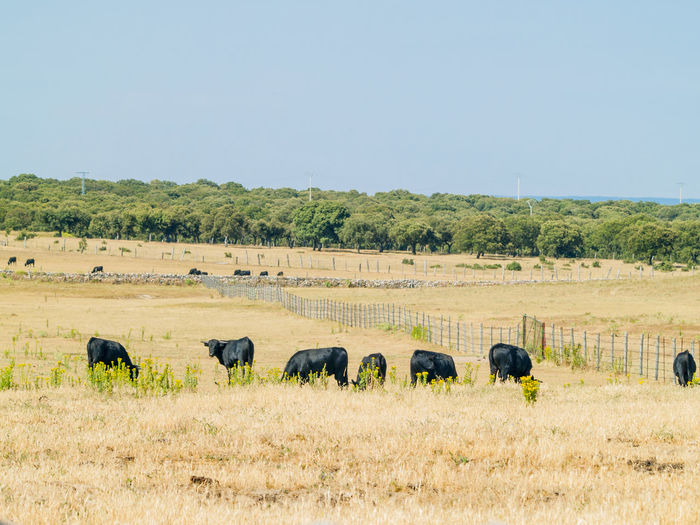Bull Grazing Livestock Pasture Summertime Animal Animal Themes Bulls Cattle Country Life Countryside Cow Cows Cows In A Field Dehesa Landscape Pasture, Paddock, Grassland, Pastureland Rural Landscape Rural Life Rural Scene Scene Scenics Summer Toro Toros
