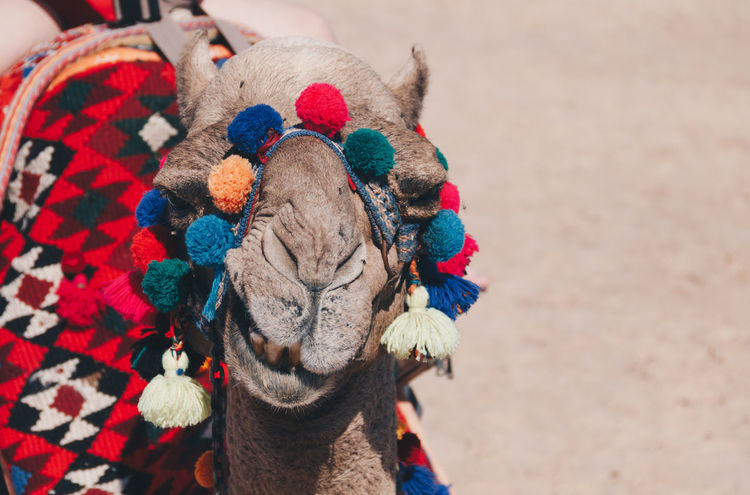 Camel smiles at the camera Egypt Funny Animal Themes Beach Camel Day Domestic Animals Livestock No People One Animal Smiling