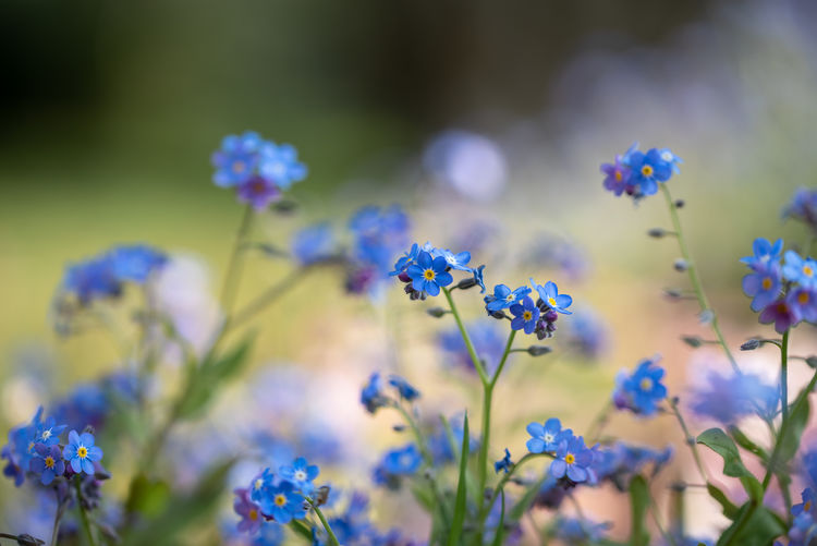 Blue forget me